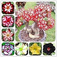 13:2個/袋アデニウムObesumデザートローズ盆栽花の種子リッチ花ダブルペット