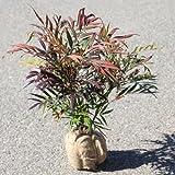 庭木:マホニアコンフューサ(細葉ヒイラギナンテン) H:約30-40cm