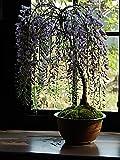 藤盆栽 薄紫の藤のお花から 香りも楽しめます。 信楽焼の鉢入り 母の日花