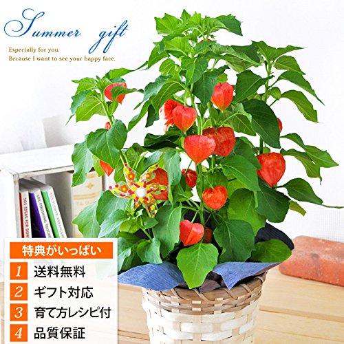花由 夏季限定 ほおずきinバスケット 【6/30~7/31までお届け】