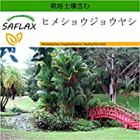 SAFLAX - ヒメショウジョウヤシ - 10 個の種。- より良い栽培のための土壌を含みます - Cyrtostachys renda