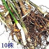正真正銘!天然茗荷・みょうが・ミョウガの栽培苗10株