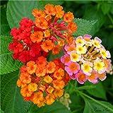 100個/袋、ランタナの種子、鉢植え、種子、花の種、完全な様々な、出芽率95%、(混合色)