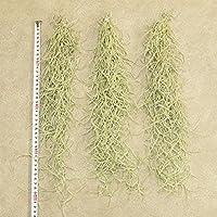 ウスネオイデス スパニッシュモス (太葉)、40cm、3束セット