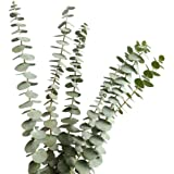 Dried Real Eucalyptus Branches 12 Stems, Natural Eucalyptus Leaves for Arrangement Wedding Home Decor