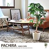 グリーン/観葉植物 光触媒 パキラ