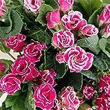 バラ咲きプリムラジュリアン:マーブル 花色アソート3号ポット 3株セット