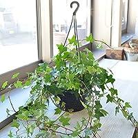 相武ガーデン 店長おまかせアイビー(吊タイプ) 6寸プラスチック鉢
