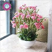 スワングリーン1:200個ピンクのカーネーション種子美しい庭の花種子最も簡単に生長するグレートカットフラワー。ディアンタスカリオフィルスの種子ハーブ1
