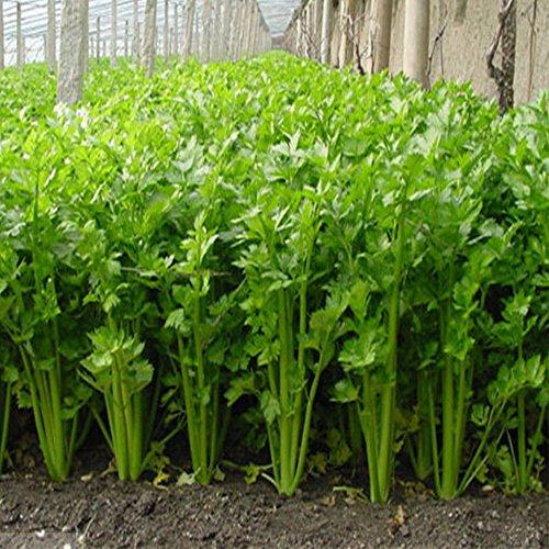 Rosepoem 健康なセロリの種 100個 おいしいパセリの種子 野菜中庭食品