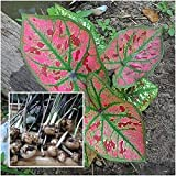 Caladium 1 Bulb Queen of The Le Plants Maneenuch Coful Thai