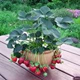 イチゴ:カレンベリー3~3.5号ポット4株セット[病気に強い!枯れないベリー栽培容易] ノーブランド品