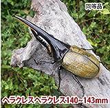 むしや本舗 ヘラクレスオオカブト成虫 オス(ヘラクレスヘラクレス) 140~143mm [生体]