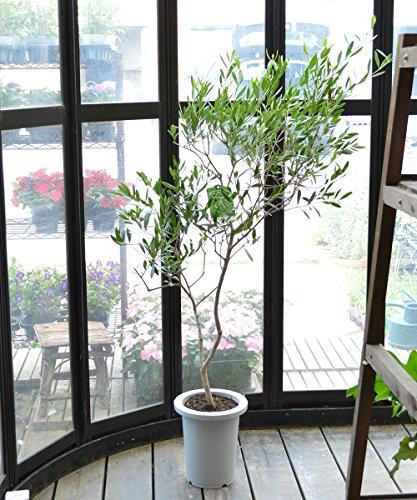 [エルフルール] オリーブの木  簡易鉢