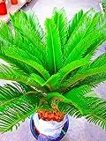 ソテツ(蘇鉄)10号鉢(大鉢・ミドル)リゾート庭木に大変人気の植物で夏はリゾート感があり、冬は青々して存在感があります。太い幹から濃緑色の光沢のある羽状葉を出して重厚な雰囲気があります。お手入れは、耐寒性がありますので意外とカンタンです。
