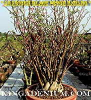 新アデニウムアラビアBLACKペッチNAWANG MULTIBRANCHES 10 FRESH SEEDS、私たちのチャンピオン小胞体の種子から。成長習慣:盆栽スタイル&ジャイアントスタイル(それは「あなた次第よ)など:ORANGE、PURPLE、&GREEN(変更されたPHOTOS FROM)!
