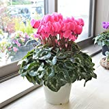 相武ガーデン 鉢花 店長おまかせ厳選シクラメン 5寸 濃いピンク系 フラワーギフト お歳暮 贈り物 クリスマス