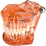 【2021年の新年のプロモーション】歯の模型、歯の変性のための1個の歯の歯の歯の模型実演研究、オレンジ