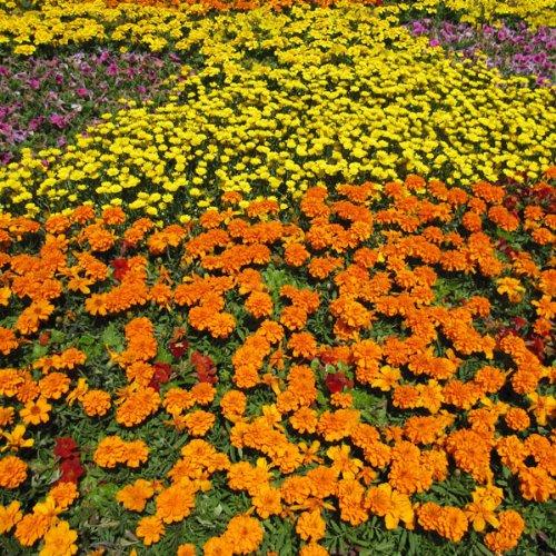 【ノーブランド品】[春まき タネ]マリーゴールド:フレンチ200g入り[緑肥・線虫抑制・景観・雑草防止]