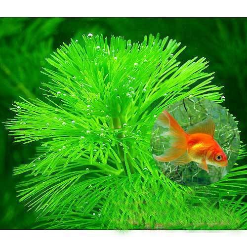 (水草)メダカ・金魚藻 エサ用カボンバ(バラ50本) 本州・四国限定[生体]