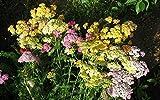 花の種セイヨウノコギリソウミックス(セイヨウノコギリソウ)年次