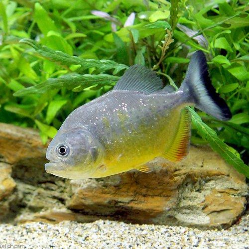 charm(チャーム) (熱帯魚) ピラニア・ピラヤ(ワイルド)(1匹) 【生体】