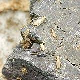 (生餌)ヨーロッパイエコオロギ S 1.5グラム(約45匹) 爬虫類 両生類 大型魚 餌 エサ 本州・四国限定[生体]