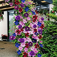 50pcsの24色の混合クレマチスクライミング植物の種子花の家の庭の装飾