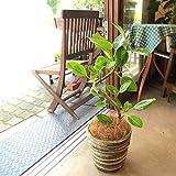 フィカス アルテシーマ(曲がり仕立て)6号鉢サイズ 鉢植え