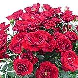【北海道発送不可】【 ニュードーンルージュ 】 大苗 4号ポット つるバラ ローズピンク 薔薇 苗 米3代不