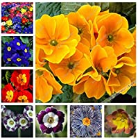 混合:100個/袋24種類プリムラ花プリムラ種子マラコイデス植物種子