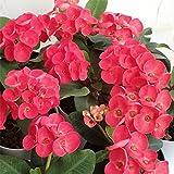 ハナキリン:八福神 赤系5号鉢植え[花キリン大輪の花を繰り返し咲かせます] ノーブランド品