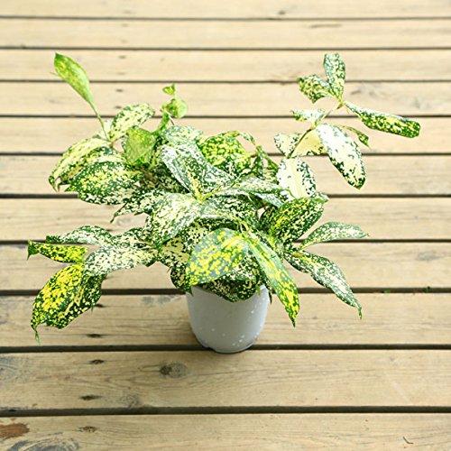 観葉植物:ドラセナ スルクロサ ゴッドセフィアナ*