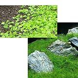(水草 熱帯魚)前景 水上葉(無農薬)2種セット ニューラージパール(1パック分)+ヘアーグラス ショート(2束分) 本州・四国限定[生体]