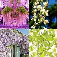 100PCS /バッグ:100PCS紫藤シーズガーデンは観賞用植物の花Lkr8 01クライミング