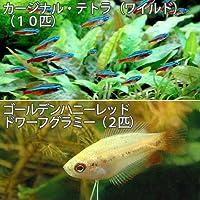 (熱帯魚)カージナルテトラ(ワイルド)(10匹) +ゴールデンハニーレッド・ドワーフグラミー(2匹) [生体]