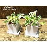 ポトス・エンジョイ / ホワイトキューブポット2セット / Pothos N'joy / White Cube Pot2set / イテリア観葉植物/鉢植え