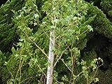 モミジバフウ 単木 樹高H:3000mm
