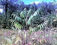 有機種子だけでなく、植物:フェリーで100個の種子のサンゴのtyphina 6-12「」LOT