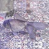 青文魚(セイブンギョ) 6cm前後 3匹