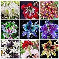 混合:熱いアマリリスの種、中国の安い花盆栽植物の種、鉢植えのアマリリスの種、フラワーガーデンバルコニー100個A Ba