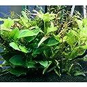 (水草 熱帯魚) 小型水槽用水草12種セット アヌビアスナナ(2) ウィローモス付流木(2) 水上葉(10種×5) 説明書付 本州 四国限定 生体