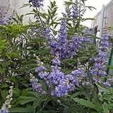 セイヨウニンジンボク:青花 樹高1m根巻きまたは地中ポット[夏に開花する青い花穂が美しい西洋人参木]