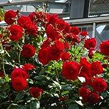 つるバラ:ウルメールムーンスター大苗[ビロード赤大輪四季咲き フェンスに最適] ノーブランド品