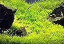 ウォーターローン 2*2cm 無農薬 前景草
