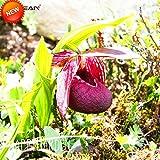 ビッグセール!50個チベットアツモリソウ属の種バルコニー鉢植え盆栽種子パティオパフィオペディルムスリッパオーキッドフラワーシード、#4SRXWN