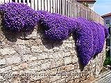 100seeds /バッグ岩クレス種子、ホームガーデン多年生グラウンドカバー植物A01#のためのレア紫色のグランドカバー岩クレスの花の種