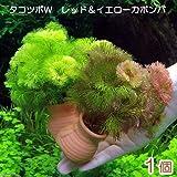 (水草)メダカ・金魚藻 タコツボW レッド&イエローカボンバ(1個) 本州・四国限定[生体]