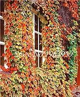 種子 - ビッグセール!100個/バッグ盆栽エキゾチックボストンアイビーグリーンコートヤードクライミングアウトドアクリーパーグリーンアイビー植物ホーム&庭:2