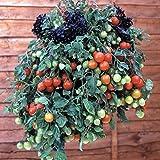 【PLANT】Heirloom Tomato® Tumbling Tom Red エアルーム・トマト・タンブリン・トム・レッド (9cmポット・自根苗2苗)